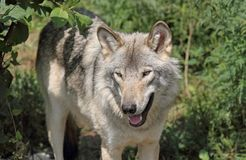 Gray wolf during summer Stock Photo