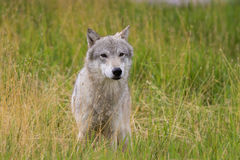 Gray Wolf in Tall Grass Stock Images