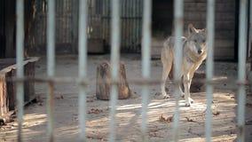 Gray Wolf In una jaula almacen de video