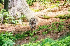 Gray wolf walking through forest royalty free stock image