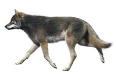 Gray Wolf Walking. High Detailed Photo realistic Gray Wolf Walking rendered in 3d aplication Royalty Free Stock Images