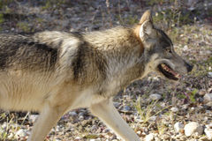 Gray wolf walking in profile. Profile of gray wolf walking in wilderness Royalty Free Stock Image