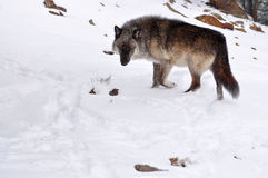 Gray wolf walking through a snowy forest Stock Photo