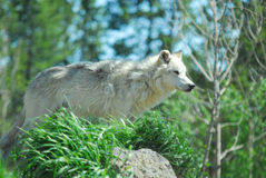 Gray Wolf Watching. Alert Gray Wolf Yellowstone National Park royalty free stock photography
