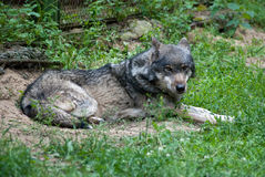 Gray wolf. Wild gray wolf lying on the grass Stock Images