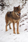 Gray Wolf in a winter Royalty Free Stock Image