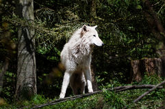 Gray wolf in the woods. Frontal view of gray wolf in the woods Royalty Free Stock Photos