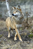 Gray Wolf. In the woods Stock Photos