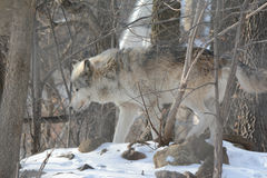 Gray Wolf In Woods. A wandering timber wolf exploring his winter habitat Stock Photography