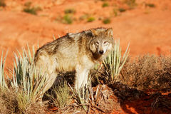 Gray wolf (Canis lupus) Royalty Free Stock Image