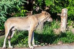 Wolves are walking in the zoo royalty free stock photography