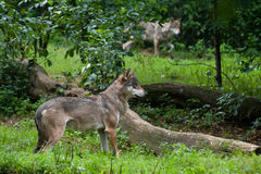 Gray Wolfs Royalty Free Stock Image