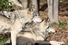 Gray wolfs during fall Royalty Free Stock Photography