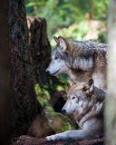 Gray wolves. With their winter coat Stock Photos