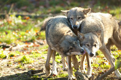 Gray Wolves Stock Photography