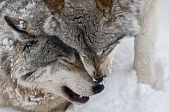 Gray Wolves Being Affectionate um com o otro fotos de stock