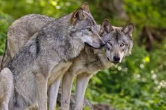 Free Gray Wolves Beside Each Other. Royalty Free Stock Photo - 128254295