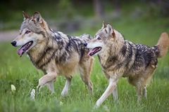 Gray wolves Canis Lupus. These tan colored wolves run through the forest meadow royalty free stock photos