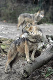 Gray wolves in countryside Stock Photos