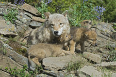 Gray wolves at den site. Gray wolf cubs with mother at den site Stock Image