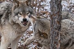 Gray Wolves Displaying Aggression fra un'alfa e un subalterno fotografie stock libere da diritti