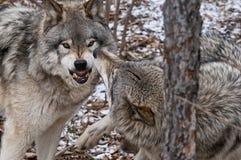 Gray Wolves Displaying Aggression zwischen einem Alpha und einem Untergebenen lizenzfreie stockfotos