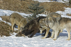 Gray wolves on kill. Gray wolf pack on kill. Photographed in Northern Minnesota Stock Image