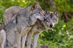 Gray Wolves naast elkaar royalty-vrije stock foto