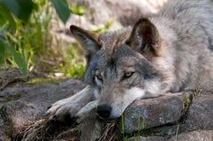 Gray Wolves que es perezoso en una roca fresca fotos de archivo