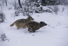 Gray Wolves Running. Two gray wolves running through snow stock images