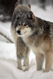 Gray Wolves In Winter. Closeup of Gray Wolves in snow Royalty Free Stock Photo