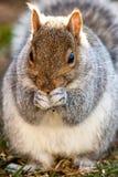 gray wschodnich wiewiórka fotografia royalty free