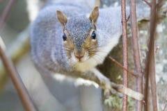 gray wschodnich wiewiórka Zdjęcia Royalty Free