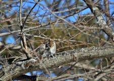 gray wschodnich wiewiórka Obraz Stock