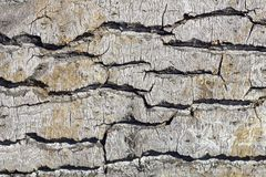 Gray yellow bark of a poplar with deep relief and shadows close-up. natural surface texture. A gray yellow bark of a poplar with deep relief and shadows close-up stock image
