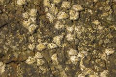 Gray yellow brown surface of a stone rock with deep relief, cracks and shells of sea acorns. natural texture royalty free stock photography