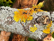 Gray and yellow-orange lichen or moss on an old dry tree branch. Close up stock photo