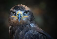 Gray Yellow and White Eagle Royalty Free Stock Image