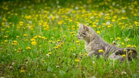 Gray young cat enjoying spring on green grass.  Royalty Free Stock Photo