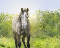 Gray Young horse in sunlight,portrait on nature Stock Photo