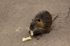 Gray young nutria Royalty Free Stock Photo