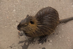 Gray young nutria Royalty Free Stock Photography