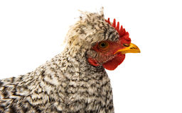 gray young rooster Stock Images
