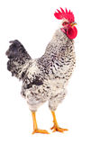 Gray young rooster. Royalty Free Stock Photography