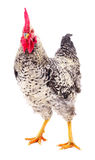 Gray young rooster. Stock Photo