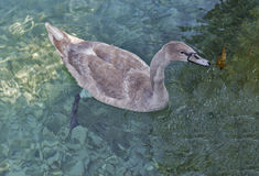 Gray young swan floating on water in autumn park closeup Royalty Free Stock Photo
