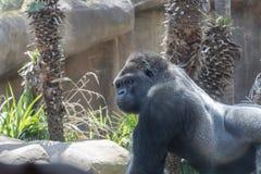 Grayback-Gorilla Stockfotografie