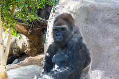 Grayback Gorilla Royalty Free Stock Image