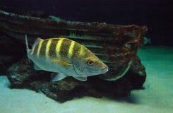 Graybar grunt fish Haemulon sexfasciatum Stock Images
