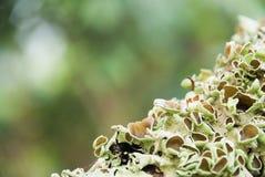 Grayish-зеленые лишайники. Стоковое фото RF